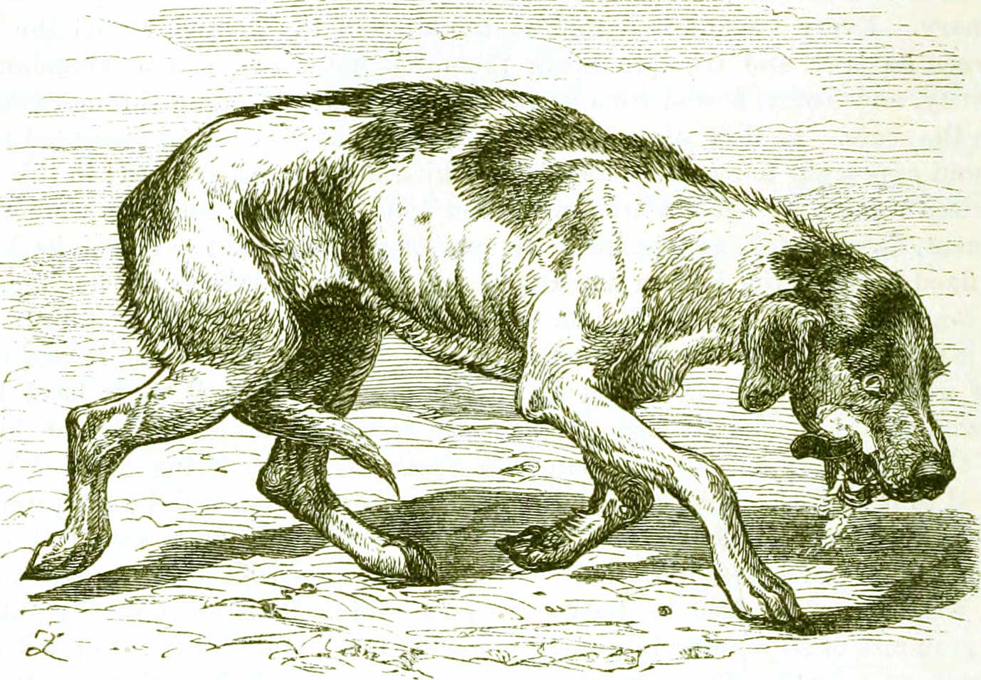 what is it about rabies in oregon del oeste equine hospital old illustration showing a dog rabies